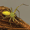 The Australian Lynx Spiders (Araneae, ...