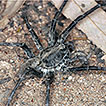 Portacosa, a new genus for the south-east ...