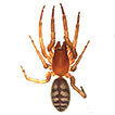 New species of tube web spiders of the ...