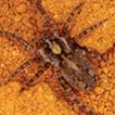 The wolf spider genus Artoria in New ...