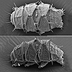 New Echiniscidae (Heterotardigrada) from ...