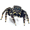 The Brushed Jumping Spiders (Araneae, ...