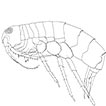 The genus Syrrhoe (Crustacea, Amphipoda, ...