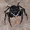 On three new species of jumping spiders ...