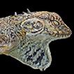 Lophyrus spinosus C. Duméril & A.  ...