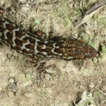 A new species of geckos of the genus ...