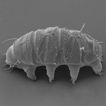 Echiniscidae in the Mascarenes: the wonders ...