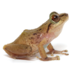 A new cryptic species of the Pristimantis ...