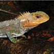A new species of wood lizard (Hoplocercinae, ...